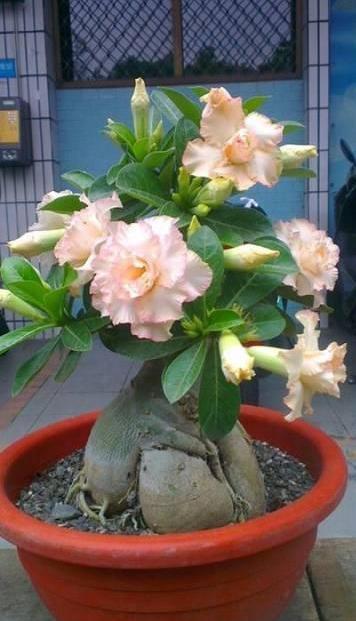 Цветы адениум фото купить доставка цветов в киеве цена